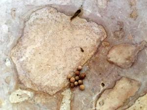 semillas-cilantro